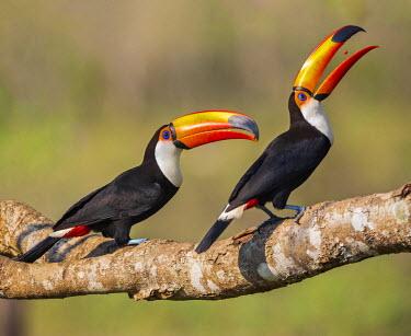 BRA2563 Brazil, Pantanal, Mato Grosso do Sul. A pair of spectacular Toco Toucans feeding.