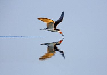 BRA2587 Brazil, Pantanal, Mato Grosso do Sul. A Black Skimmer flies low over the Rio Negro River.
