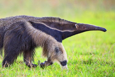 BRA2599 Brazil, Pantanal, Mato Grosso do Sul. The Giant Anteater or ant bear is a large insectivorous mammal with bushy tail, elongated snout and large fore claws.