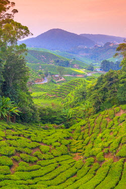 MY036RF Malaysia, Pahang, Cameron Highlands, Brinchang, Tea Plantation