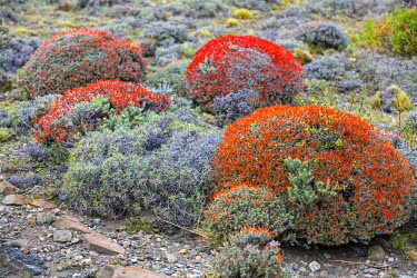 CHI8984 Chile, Torres del Paine, Magallanes Province. The bright clumps of red-orange flowers of the Guanaco bush (Anarthrophyllum desideratum) add a splash of colour to the Patagonian steppe.