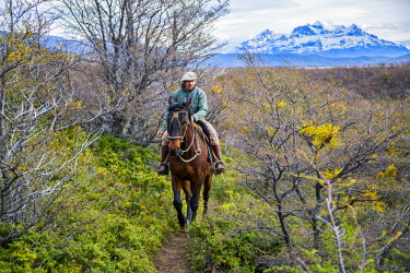 CHI8989 Chile, Torres del Paine, Magallanes Province. A Gaucho riding along a trail through the Patagonian steppe in the Torres del Paine National Park.