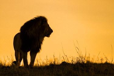 KEN8969AW Africa, Kenya, Masai Mara, Narok County. Silhouette of a lion