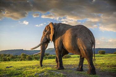 KEN8976AW Africa, Kenya, Masai Mara, Narok County. Bull Elephant