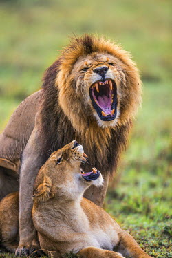 KEN8983AW Africa, Kenya, Masai Mara, Narok County. Lions mating.