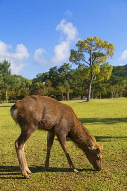 JAP0723AW Deer in Nara Park, Nara, Kansai, Japan