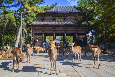 JAP0724AW Deer outside Nandaimon Gate of Todaiji Temple (UNESCO World Heritage Site), Nara, Kansai, Japan