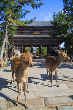 JAP0725AW Deer outside Nandaimon Gate of Todaiji Temple (UNESCO World Heritage Site), Nara, Kansai, Japan