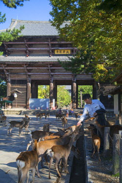JAP0726AW Man feeding deer outside Nandaimon Gate of Todaiji Temple (UNESCO World Heritage Site), Nara, Kansai, Japan