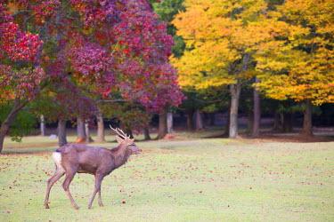JAP0740AW Deer in Nara Park, Nara, Kansai, Japan