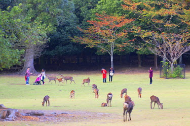 JAP0741AW Deer in Nara Park, Nara, Kansai, Japan