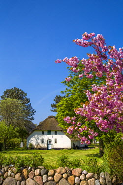 GER8261AW Thatched house and blooming tree, Amrum Island, Northern Frisia, Schleswig-Holstein, Germany