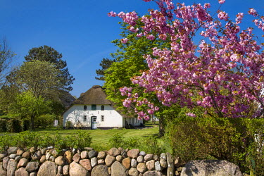 GER8262AW Thatched house and blooming tree, Amrum Island, Northern Frisia, Schleswig-Holstein, Germany