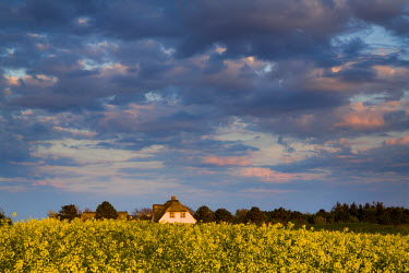 GER8290AW Rape field and thatched house, Amrum Island, Northern Frisia, Schleswig-Holstein, Germany