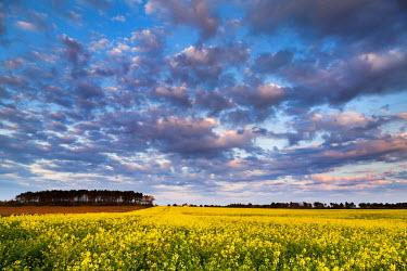 GER8291AW Rape field, Amrum Island, Northern Frisia, Schleswig-Holstein, Germany