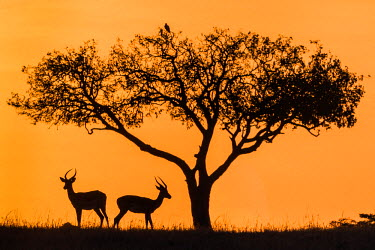 KEN9053AW Africa, Kenya, Narok County, Masai Mara National Reserve. Silhouettes of two Impalas at sunset