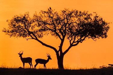 KEN9053AW Africa, Kenya, Narok County, Masai Mara National Reserve. Silhouettes of two Impalas at sunset