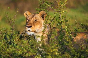 KEN9071AW Africa, Kenya, Narok County, Masai Mara National Reserve. A watchful Lioness