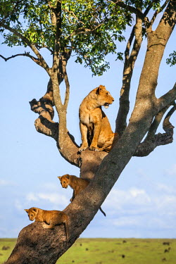 KEN9094AW Africa, Kenya, Narok County, Masai Mara National Reserve. Lioness and her cubs in a tree.