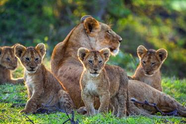 KEN9096AW Africa, Kenya, Narok County, Masai Mara National Reserve. Lioness and her cubs