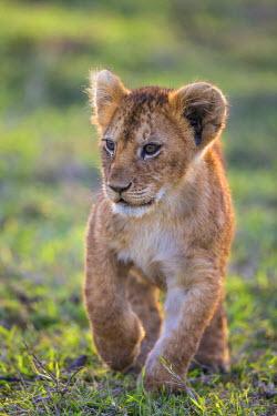 KEN9097AW Africa, Kenya, Narok County, Masai Mara National Reserve. Lion cub