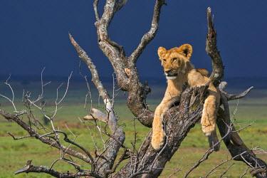 KEN9098AW Africa, Kenya, Narok County, Masai Mara National Reserve. Lion resting in a dead tree.