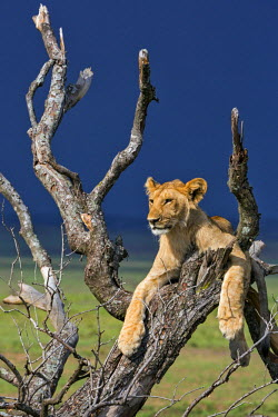 KEN9099AW Africa, Kenya, Narok County, Masai Mara National Reserve. Lion resting in a dead tree.