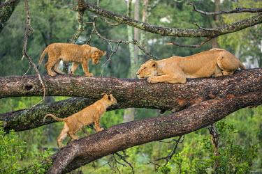 KEN9101AW Africa, Kenya, Narok County, Masai Mara National Reserve. Lioness and her cubs