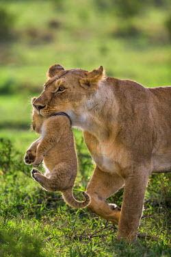 KEN9102AW Africa, Kenya, Narok County, Masai Mara National Reserve. Lioness carring her cub.