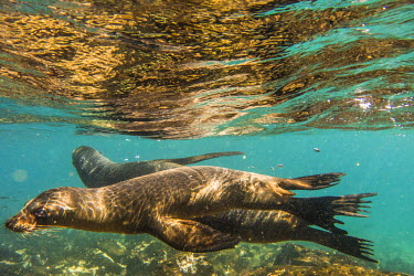 ECU1235AW South America, Ecuador, Galapagos Islands. Galapagos sea lion swimming.