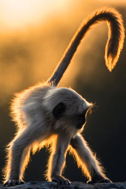 IND7640AW Asia, India, Rasthan, Ranthambore National Park. A southern plains gray langur back lit by the evening sun.