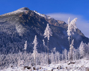 SLV1296AW Snow covered trees and mountains in the High Tatras, Slovakia, Europe. Winter