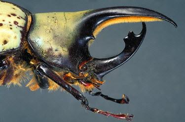 HMS0649599 Mexico, Coleoptera, Scarabaeidae, Dynastinae, Hercules beetle or Giant scarab (Dynastes hyllus), portrait of male