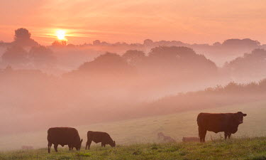 ENG11809AW Red Ruby cattle grazing in the Devon countryside at dawn on a misty morning, Black Dog, Devon, England. Autumn (September)