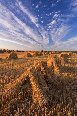ENG11826AW Corn stooks harvested for thatching purposes, Devon, England. Summer (July)