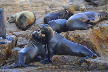HMS0879585 Mexico, Baja California Sur State, Sea of Cortez, listed as World Heritage by UNESCO, Cabo San Lucas, Sea lions