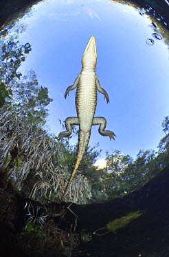 HMS1381946 Mexico, Quintana Roo state, cenote (flooded cave) of Car Wash, Morelet's crocodile (Crocodylus moreletii)