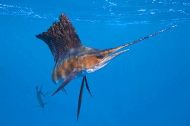 HMS1957255 Mexico, Caribbean Sea, Yucatan Peninsula, Isla Mujeres, Istiophorus albicans, Atlantic Sailfish