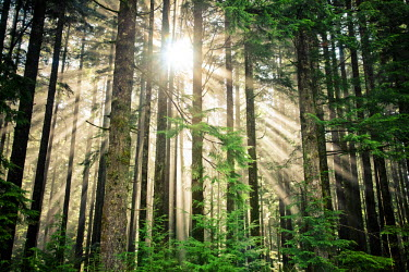 AR5044100004 Beams of sunlight shine through a thick forest in British Columbia, Canada.