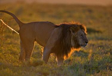 KEN8411AW Kenya, Masai Mara, Musiara Marsh, Narok County. A pride male patroling his territory and scent marking at dawn.