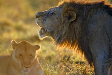 KEN8413AW Kenya, Masai Mara, Narok County. Male lion roaring at dawn. He is standing tall to show off his size which helps to impress females and intimidate rivals. He was courting the female shown in the pictu...