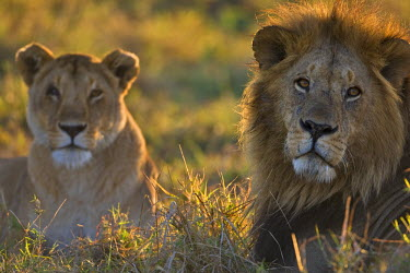 KEN8414AW Kenya, Masai Mara, Musiara Marsh, Narok County. A male lion alert as he guards a lioness from his pride at dawn. The female was in estrus and the courting couple had been mating.