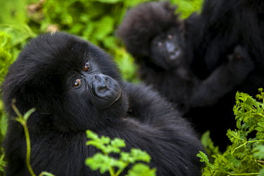 A juvenile gorilla and an infant are surrounded by the lush green vegetation of Rwanda's Virunga mountains.