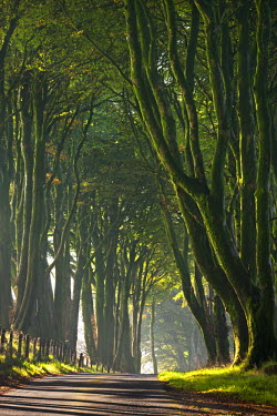 ENG12085AW Majestic tree lined lane on a misty morning in Dartmoor, Devon, England. Autumn