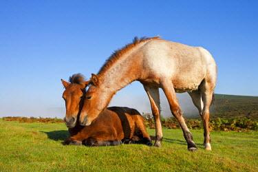 ENG12087AW Dartmoor Pony Foals on the open moorland, Dartmoor, Devon, England. Autumn