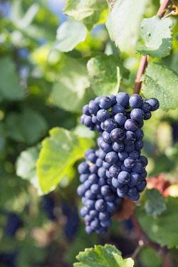 SWI7529 Europe, Switzerland, Swiss Alps, Valais, Martigny, vineyard bunch of grapes on the vine