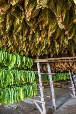 CB02308 Drying house at the Alejandro Robaina Tobacco Plantation, Pinar del Rio Province, Cuba