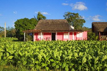 CB02317 Tobacco Plantation, Pinar del Rio Province, Cuba