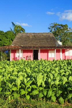 CB02318 Tobacco Plantation, Pinar del Rio Province, Cuba