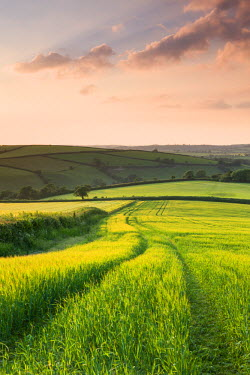 ENG12225AW Summer crops growing in a field near Lanreath, Cornwall, England. Summer